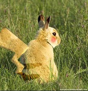 Un lapin qui ressemble pikachu il existe et vit en - Comment se debarrasser des lapins sauvages ...