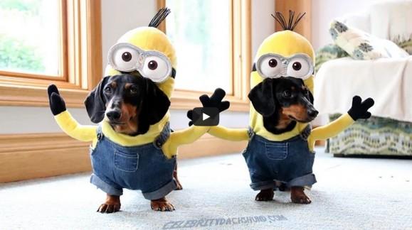 Deux teckels se prennent pour des Minions dans leur costume de Kevin. #VidéoHilarante !